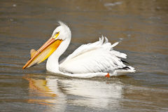 Pelicano branco americano Imagem de Stock