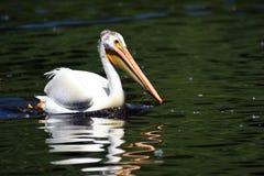 Pelicano branco americano Imagens de Stock Royalty Free