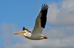 Pelicano branco americano em voo Imagem de Stock Royalty Free