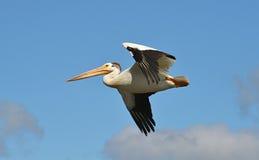 Pelicano branco americano em voo Foto de Stock