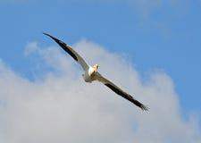 Pelicano branco americano em voo Fotos de Stock Royalty Free