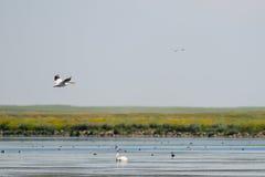Pelicano branco americano (erythrorhynchos do Pelecanus) Fotos de Stock Royalty Free