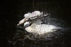 Pelicano branco do pássaro bonito majestoso que espirra o divertimento na obscuridade Fotografia de Stock Royalty Free