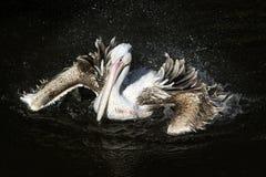 Pelicano branco do pássaro bonito majestoso que espirra pesadamente no Fotos de Stock