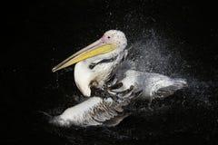 Pelicano branco do pássaro bonito que espirra impressionantemente no dar Fotografia de Stock Royalty Free