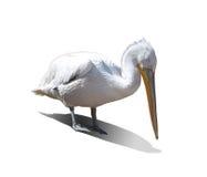 Pelicano branco em um fundo branco Imagem de Stock Royalty Free
