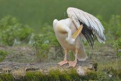 Pelicano branco em um log Fotos de Stock Royalty Free