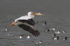Pelicano branco (erythrorhynchus) do Pelecanus em voo - Texas Imagem de Stock Royalty Free