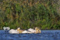 Pelicano branco na água Imagens de Stock Royalty Free