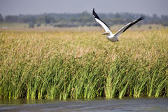Pelicano branco no vôo Foto de Stock