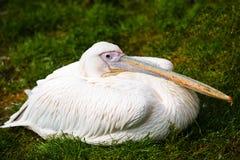 Pelicano branco oriental Fotografia de Stock