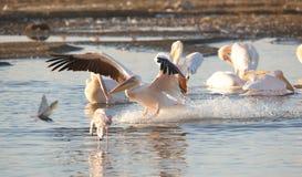 Pelicano branco oriental (onocrotalus do Pelecanus) Fotografia de Stock Royalty Free