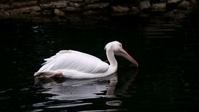 Pelicano branco que flutua na água do lago video estoque