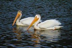 Pelicano branco - Teton grande NP Imagens de Stock