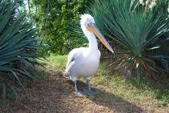 Pelicano branco Zumbido, Turin Imagens de Stock