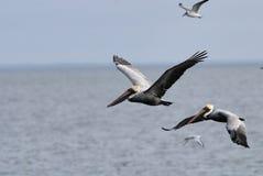 Pelicano cinzento Fotos de Stock Royalty Free