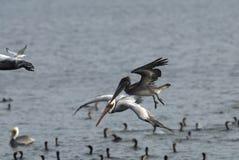 Pelicano cinzento Imagens de Stock