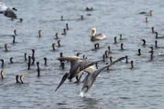 Pelicano cinzento Imagens de Stock Royalty Free