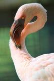 Pelicano, close up, cabeça Imagem de Stock