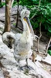 Pelicano com bico aberto Fotos de Stock