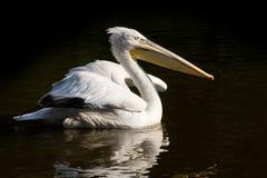 Pelicano com crista fotografia de stock