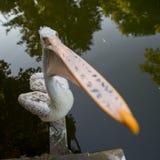 Pelicano com o bico particularmente grande Imagem de Stock