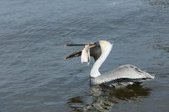 Pelicano com peixes Imagens de Stock