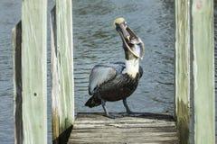 Pelicano com peixes Fotografia de Stock Royalty Free