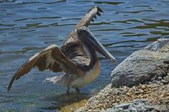 Pelicano com propagação das asas Imagens de Stock