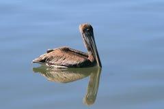 Pelicano com reflexão Fotografia de Stock