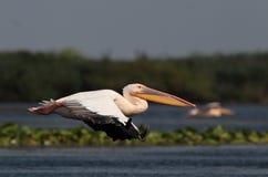 Pelicano comum do branco que voa sobre o lago Fotografia de Stock Royalty Free