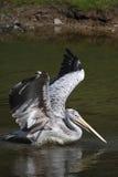 pelicano Cor-de-rosa-suportado Foto de Stock