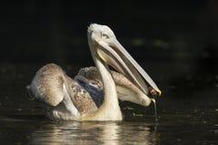 pelicano Cor-de-rosa-suportado Imagens de Stock Royalty Free