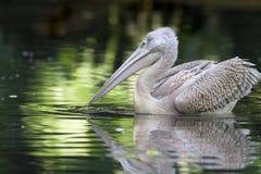 pelicano Cor-de-rosa-suportado Imagens de Stock