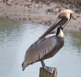 Pelicano curioso Fotos de Stock