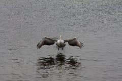 Pelicano da aterrissagem Fotos de Stock