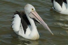 Pelicano da natação Fotos de Stock