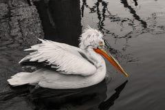 Pelicano da natação imagem de stock