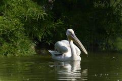 Pelicano da natação Imagens de Stock Royalty Free