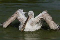 Pelicano Dalmatian fotos de stock