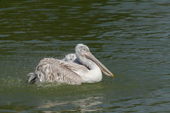 Pelicano Dalmatian foto de stock
