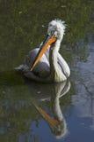 Pelicano Dalmatian Imagens de Stock