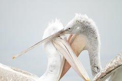 Pelicano Dalmatian Imagem de Stock Royalty Free