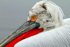 Pelicano Dalmatian Fotos de Stock Royalty Free