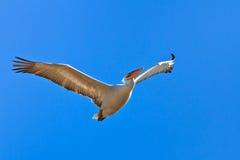 Pelicano Dalmatian (crispus do Pelecanus) imagens de stock royalty free
