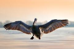 Pelicano Dalmatian, crispus do Pelecanus, aterrando no lago Kerkini, Gr?cia Pelicano com asas abertas Cena dos animais selvagens  fotos de stock royalty free