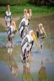 Pelicano Dalmatian majestoso foto de stock