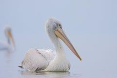 Pelicano Dalmatian /Pelecanus crispus/. Imagens de Stock Royalty Free