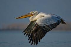 Pelicano Dalmatian /Pelecanus crispus/ Fotos de Stock Royalty Free