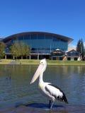 Pelicano de Adelaide Imagem de Stock Royalty Free